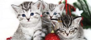 Kittens, Christmas holiday, red Christmas balls toys. Kittens breed Scottish British cute